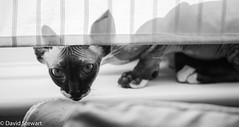 Peek-a-boo (Dave_G_Stewart) Tags: cat canon eos blackwhite profile pussy sphynx hairless pussycat 100400mm llens