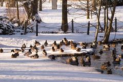 HFF with ducks (puste66blume) Tags: winter enten zaun teich stadtpark hff limbachoberfrohna alpha58 inesbilder puste66blume