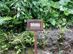Menta (Mentha spicata L.). Inkaterra Machu Picchu Pueblo Hotel, Aguas Calientes, Peru (Travel to Eat) Tags: mint machupicchu spearmint menta