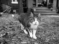 curious feline ((robcee)) Tags: bw toronto ontario canada monochrome animals cat outdoors jones feline kitty dundas jpeg eastside leslieville geolocation 2016 sooc geo:state=ontario geo:country=canada geo:city=toronto camera:make=olympusimagingcorp exif:make=olympusimagingcorp exif:aperture=ƒ32 exif:lens=olympusm17mmf18 camera:model=em1 exif:model=em1 exif:isospeed=200 exif:focallength=17mm geo:lat=4366605 geo:lon=79333463888888