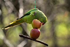 Parrot In The Park (Ady Mac) Tags: park green liverpool parrot sefton