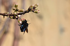 Oops! I caught you again (Bego Alday) Tags: color nature colors animals insects bee bumblebee mating deepoffield