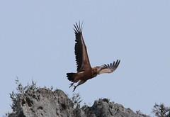 BUITRE LEONADO (INICIO DE  VUELO) (manu691) Tags: ave pajaro inicio buitreleonado vuelo carroero
