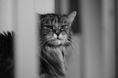 Pebbles (unbunt.me) Tags: cat blackwhite katze acros mainecoone fujixpro2