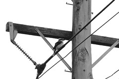 IMG_5271 - Kookaburra (Stephen Baldwin Photography) Tags: blackandwhite monochrome birds power pole telegraph kookaburra