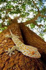 Tokay Gecko (Matthieu Berroneau) Tags: trip macro nature animal reptile wildlife sony sigma 15 fisheye lizard malaysia gecko alpha animaux lagarto ff herp gekko malaisie lézard tokay reptilia reptilian tokaygecko gekkogecko a7ii 24x36 7ii sigma15mmf28exdgdiagonalfisheye herping 7mk2 sonylaea4 sonya7ii sonya7mk2 sonyilce7m2 sonyalpha7mark2 sonyalpha7ii sigmaobjectiffisheyedg15mmf28