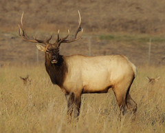 Hello Mr. Elk (Atascaderocoachsam) Tags: