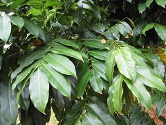 starr-120606-6871-Castanospermum_australe-leaves-Kahanu_Gardens_Hana-Maui (Starr Environmental) Tags: castanospermumaustrale
