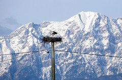 IMG_8070 stork nest with mountain view (pinktigger) Tags: italy mountain snow bird nature italia nest stork cegonha cigea friuli storch ooievaar fagagna ciconiaciconia cicogne cicogna oasideiquadris feagne nest20
