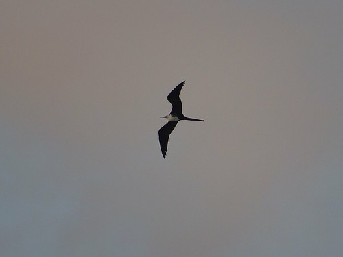 Fregattfågel - hona