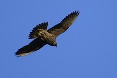 _HNS7307 Slechtvalk : Faucon pelerin : Falco peregrinus : Wanderfalke : Peregrine Falcon