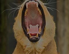 Allwetterzoo Münster (Günter Hentschel) Tags: germany deutschland zoo tiere nikon europa tiger leopard alemania rasputin allemagne münster esel germania schlange zähne bären löwe allwetterzoo elefanten nikond3200 fütterung allwetterzoomünster d40 d3200 nikond40