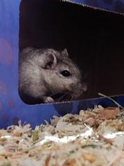 DSCN9782 Crumpet (therovingeye) Tags: pets animals gerbil rodents gerbilhabitat