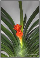 The Beautiful Designs & Shapes in Nature - Kaffir Lily - Clivia miniata (Bill E2011) Tags: plant color colour macro nature beauty canon mexico design pattern lily olivia australia household kaffir oliviaminiata amarylldaceae