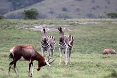 Equus quagga ssp. burchelli Burchell-Steppenzebra  Burchell's Zebra (Spiranthes2013) Tags: nature southafrica natur young zebra sdafrika 2016 jungtier burchellszebra burchellsteppenzebra lakeelandgamereserve equusquaggasspburchelli