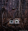 Consumed (Witty nickname) Tags: wood trees windows building brick texture glass wall dark frames vines eyes gloomy outdoor britishcolumbia victoria historic creepy vancouverisland urbannature nikkor1424mmf28