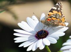 DSC_0131 (rachidH) Tags: flowers vanessa nature cosmopolitan blossoms egypt butterflies insects bee cairo papillon daisy blooms dame africandaisy cynthia paintedlady osteospermum vanessacardui blueeyeddaisy vanessedeschardons labelledame vanesse rachidh