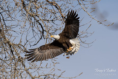 Bald Eagle flies and dines