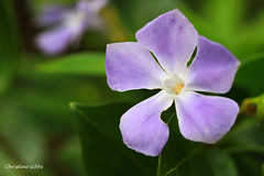 V - Vinca (ChristineGibbs, trying to keep up!) Tags: flowers blue flower canon garden eos az explore v vinca gardenflowers vincamajor canon100mmf28 explored eos7 azproject