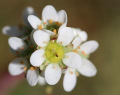 Prairie Saxifrage (corey.raimond) Tags: plant whiteflower native orcasisland wildflower saxifraga saxifrage saxifragaceae wholeleafsaxifrage prairiesaxifrage micranthesintegrifolia
