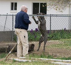 Vinnie leaping at the fence (dagnyg) Tags: dogs pitbull gary vinnie