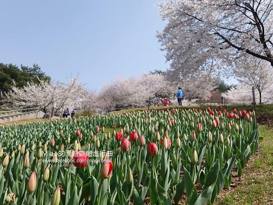 안산공원벚꽃23