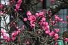 Ume Blossoms, Unryu-in Temple, Kyoto (kyoshiok) Tags: flower japan kyoto umeblossoms unryuintemple