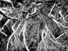 Tree Roots (wanderinghaggis) Tags: blackandwhite white black tree texture water monochrome mono pattern outdoor roots samsung s scene algae organic tangle sureal wandering exposed fibers wb750