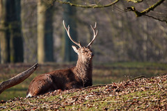 Morning (powerdook) Tags: park morning trees sun sunshine forest stag outdoor relaxing warmth deer antlers aarhus dyrehaven