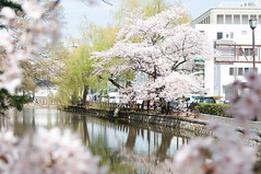 Moat in Spring (Wunkai) Tags: japan ditch 桜 cherryblossom sakura moat entrenchment さくら 茨城 土浦 ibarakiken 亀城公園 tsuchiurashi kijopark kijokoen