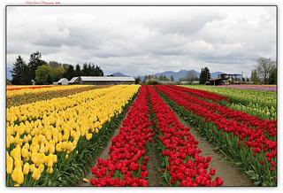 tulips on parade...