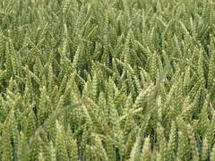 Weizenfeld - wheat-field (elisabeth.mcghee) Tags: wheat wheatfield weizen weizenfeld