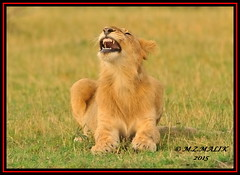 YOUNG SUB-ADULT MALE CUB (Panthera leo)  ......MASAI MARA......SEPT 2015 (M Z Malik) Tags: africa nikon leo kenya wildlife ngc safari npc lionking kws masaimara d3x flickrbigcats exoticafricancats exoticafricanwildlife 200400mm14afs