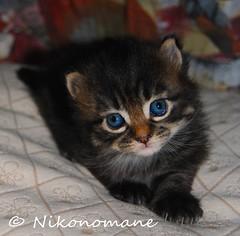 Lucifero (2) (Nikonomane) Tags: black cute cat lucifer kitten blu kitty evil gato piccolo gatto nero pelo diavolo gattino teufel lucifero lungo