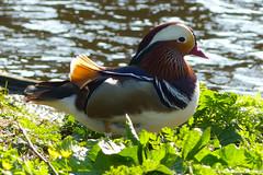 Mandarijneend - Aix galericulata (Ankie Rusticus, I'm not much here) Tags: nature duck spring natuur lente bloemen eend vogel burd