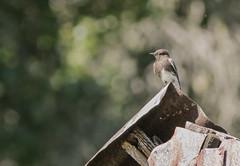 Sycamore Grove 4-17-16 (9) (tpbsr) Tags: birds owl april woodpeckers livermore lvcc sycamoregrove sycsmoregrove