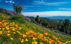 California Spring Wildflowers: Los Padres National Forest - Figueroa Mountain: Dr. Elliot McGucken Fine Art Landscape & Nature Photography: Grape Soda Lupine & California Poppies! Sony A7RII (45SURF Hero's Odyssey Mythology Landscapes & Godde) Tags: california mountain art nature forest landscape photography los spring dr sony fine national poppies padres wildflowers soda elliot figueroa grape a7 lupine sonnar tfe mcgucken a7r sonya7 sonya7r sonya7rii a7rii a7r2 55mmf18zalens sonya7r2 sonya7riisony1635mmvariotessartfef4zaossemountlensdrelliotmcguckenfineartphotography