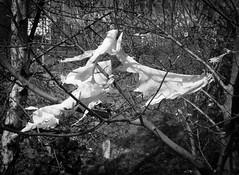 plastic bag in tree 01 apr 16 (Shaun the grime lover) Tags: tree monochrome bag warrington cheshire branches plastic torn sheet twigs bridgefoot
