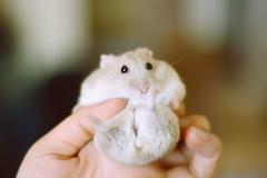 DSC_6408 () Tags: pet animal hamster