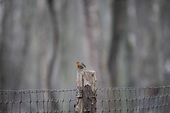Rougegorge familier - Erithacus rubecula - European Robin (Guillaume F.) Tags: robin european erithacus rougegorge familier rubecula