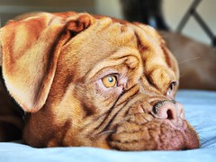 Bored (tinypaws28) Tags: doguedebordeaux dogspetsanimalnikon