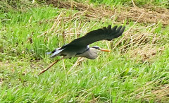 Heron In Flight Cropped (cocabeenslinky) Tags: world city uk england reflection london art heron nature grass canon river photography grey power shot natural photos united capital flight young kingdom powershot east ardea end eastend in ardeidae 2016 cinerea roding g15 cocabeenslinky outdoorsapril