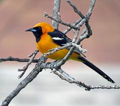 IMG_2604 (lbj.birds) Tags: bird nature wildlife kansas hoodedoriole flinthills oriole