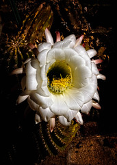 Beautiful Cactus (http://fineartamerica.com/profiles/robert-bales.ht) Tags: flowers arizona cactus people plants foothills cacti spectacular whiteflower photo succulent desert blossom awesome scenic peaceful places fragrant sensational states projects inspirational cactaceae spines hdr magnificent inspiring yuma haybales columnar nightbloomer flowerphotography canonshooter forupload echinopsiscandicans arizonaphotography argentinegiant cactusphotography trichocereuscandicans nocturnalblooming robertbales northamericanphotography massiveflowers greetingcardsl