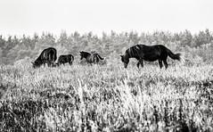 Everd, July 7, 2014 (Ulf Bodin) Tags: family summer horses blackandwhite horse monochrome grass animal se skne sweden outdoor meadow sverige scania foal hst hstar ng skneln everd canoneos5dmarkiii canonef70200mmf28lisiiusm