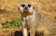 Meerkat (mollyannett) Tags: camera uk family friends food baby white black hot cold color colour macro love beautiful smile weather animal animals closeup night fur nose happy photography zoo monkey big eyes meerkat hands colorful pretty day sitting hand sad close britain eating gorgeous small large babe eat leopard tiny stunning british curious colourful sat lovely marwell snowleopard meerkats