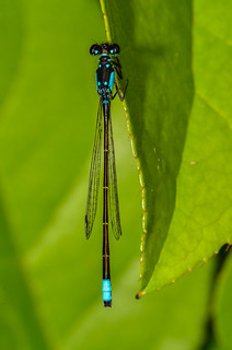Pacific Forktail - ♂