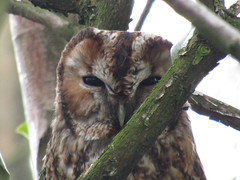 Spotted this guy this afternoon, first time I've seen a Tawny Owl in the wild! (stevencarruthers93) Tags: greenheart