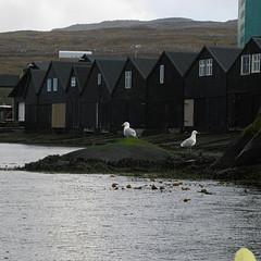 IMG_4326 (Jan Egil Kristiansen) Tags: bird seagull gull kayaking faroeislands seabird trshavn img4326