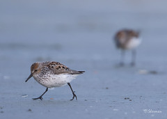 Western-Sasndpiper3 (Sherms Photo) Tags: birds canon bc tofino shorebirds 7dm2 shorebirdfestival2016
